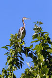 Tri colored heron on branch. Stock Image