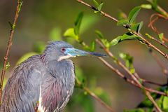Tri Colored Heron in breeding colors waits for a mate. A tri colored heron demonstrating vibrant breeding colors at Wakodahatchee wetlands Stock Images