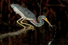 Tri-colored heron catching a bait fish near Wiggins Pass, Florid stock image