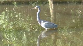 Tri colored heron stock video footage
