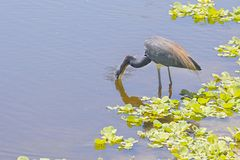 Tri-Colored Heron Drinking Water. A Tri-colored Heron drinking water with face submerged royalty free stock photos