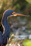 Tri-colored Heron, Egretta tricolor Stock Photography