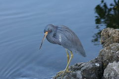 Tri colored Heron (egretta tricolor) Stock Photo