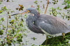 Tri-colored Heron (egretta tricolor) Royalty Free Stock Photography