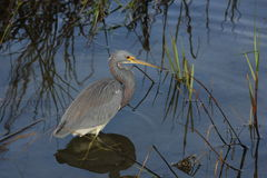 Tri-Colored Heron (Egretta tricolor) Royalty Free Stock Photo