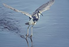 Tri-Colored Heron fishing Royalty Free Stock Photos