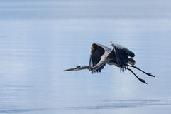 Tri Colored Heron in Flight Royalty Free Stock Photos