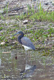 A Tri Colored  Heron  Florida Royalty Free Stock Image