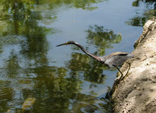 Tri colored heron hunting Stock Photos