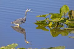 Tri-colored Heron Making A Loud Protective Sound Royalty Free Stock Photos