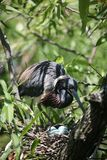 Tri-colored heron nesting. Tri-colored heron with eggs Stock Images