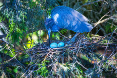 Tri-colored Heron Nesting Royalty Free Stock Photo