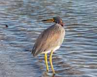 Tri-colored Heron on Padre Island in South Texas Stock Image