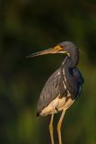 Tri colored heron portrait Stock Photos