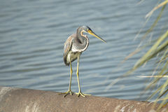 Tri-Colored Heron Royalty Free Stock Photography