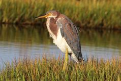 The Vibrant Tri-Colored Heron royalty free stock image