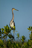 Tri-colored Heron. A tricolored heron perching in the morning sun Royalty Free Stock Photos