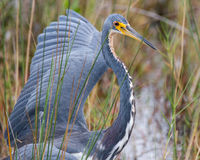 Tri-colored Heron. A tricolored heron showing his dominace toward another bird Stock Photos