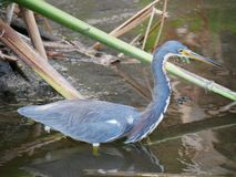 Tri colored heron wades in the wetlands royalty free stock photography