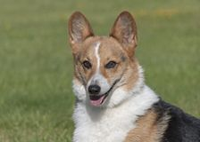 Tri-Colored Pembroke Welsh Corgi Portrait on a Blurred Lawn Background royalty free stock photography