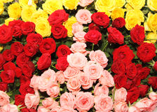 Tri-colored rose bed Royalty Free Stock Photography
