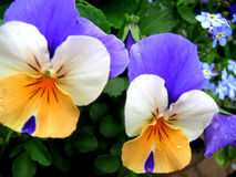 Tri- colors pansies yellow -white -blue Royalty Free Stock Photo
