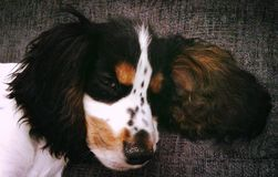 Tri colour cocker spaniel puppy Stock Images