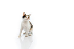 Tri colours cat is sitting Royalty Free Stock Photography