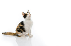 Tri colours cat is sitting Royalty Free Stock Photos