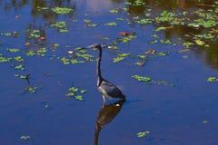 Tri-färgad fågel för häger (den tricolor egrettaen) Arkivfoton