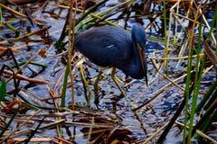 Tri-färgad hägerfågel Arkivfoto