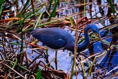 Tri-färgad hägerfågel Fotografering för Bildbyråer
