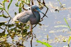 Tri-färgad Heron Royaltyfria Foton