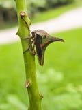 Tri-färgade Thorn Bug på grön taggig filial Arkivfoton