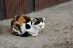Tri-gekleurde grote kat op de weg Stock Foto's