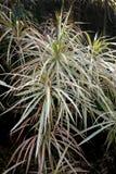 Tri-kleur Dragon Tree Royalty-vrije Stock Foto