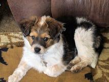 Tri-kleur Mini Aussie Puppy Portrait stock afbeeldingen