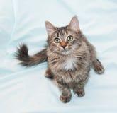 Tri-kleuren groen-eyed katje, die voorbereidingen treffen op te springen Stock Foto