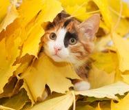 Tri-kleuren kat-meisje Stock Afbeelding