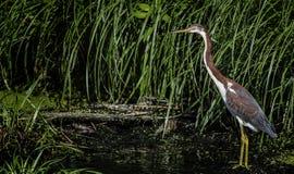tri kulör heron Royaltyfria Bilder