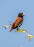 Tri oiseau de Munia de couleur Images stock