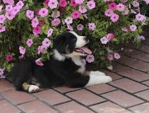 Tri perrito australiano negro del pastor por las flores Foto de archivo libre de regalías