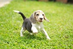 Tri perrito de plata criado en línea pura fuerte del beagle del color en la acción Foto de archivo