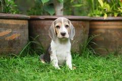 Tri perrito de plata criado en línea pura fuerte del beagle del color en la acción Imagenes de archivo