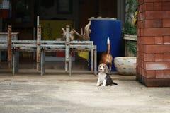 Tri perrito de plata criado en línea pura fuerte del beagle del color en la acción Fotos de archivo libres de regalías