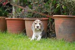 Tri perrito de plata criado en línea pura fuerte del beagle del color en la acción Fotos de archivo