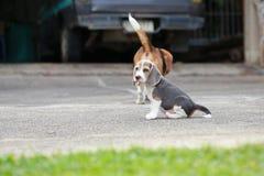 Tri perrito de plata criado en línea pura fuerte del beagle del color en la acción Imagen de archivo libre de regalías
