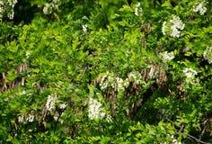 Triacanthos Gleditsia с цветками стоковое изображение