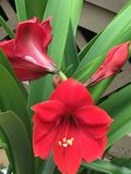 Triad. An amaryllis blooming, another starting to open and a bud Royalty Free Stock Photography