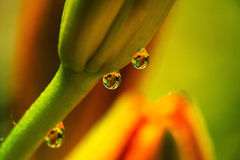 Triad of Dew Drops in the Morning Sun. Macro image of three dew drops that capture a unusual reflections of itself Stock Photo